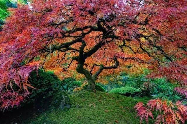 壁纸 枫叶 风景 红枫 树 640_424